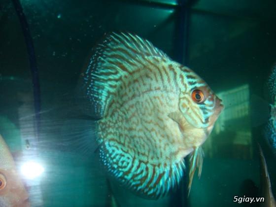 Bình thạnh-Cá cảnh Trung-nguyễn,đủ loại cá cảnh đẹp nhất hiện nay ! - 29