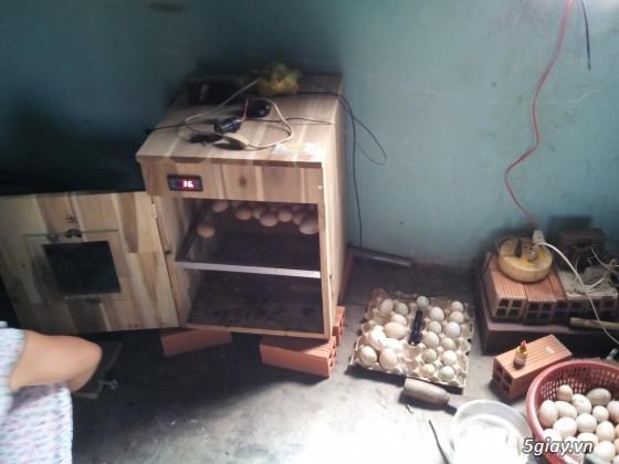 Gà serama & máy ấp trứng fox 1004   ............. - 9