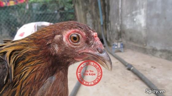 Bán gà mái tre lai mỹ, asil, peru. Bổn gà tốt, giá hợp lý. - 3