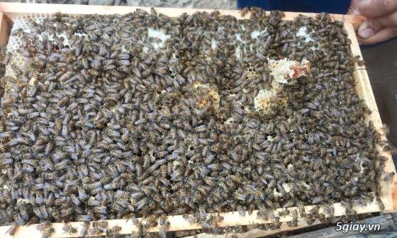 Bán ong mật giống và dụng cụ nuôi ong - 3