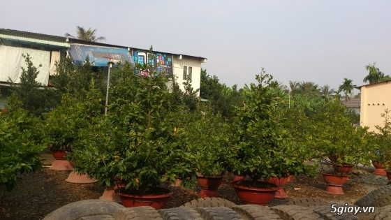 Vườn mai Út Hậu   bán và cho thuê mai tết, mai ghép, gốc to, dáng đẹp