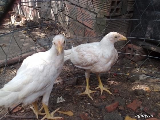 bán gà mái tre asil 4 tháng - 6