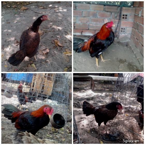 bán gà mái tre asil 4 tháng - 10
