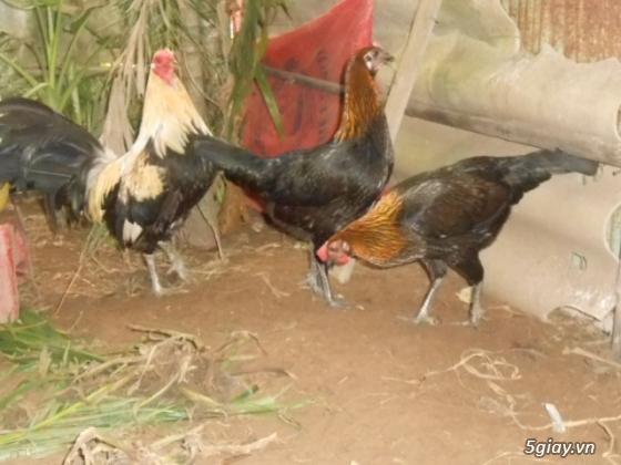 LAI VUNG _GÀ nòi MỸ_các loại gà LAI cho ae đá tiền - 30