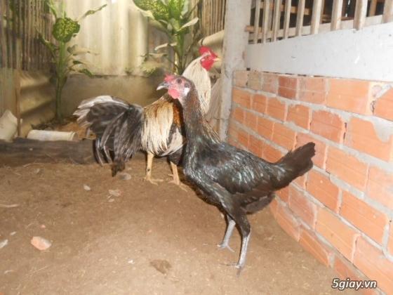 LAI VUNG _GÀ nòi MỸ_các loại gà LAI cho ae đá tiền - 32