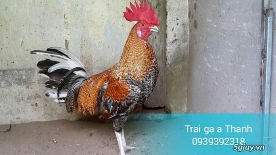 Trại gà A Thạnh - Bình Minh, Vĩnh Long (Gà Peru - Gà Mỹ - Gà Asil - Gà Lai các loại - 7