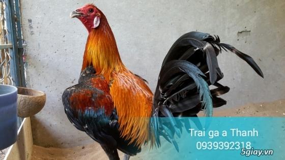 Trại gà A Thạnh - Bình Minh, Vĩnh Long (Gà Peru - Gà Mỹ - Gà Asil - Gà Lai các loại - 8