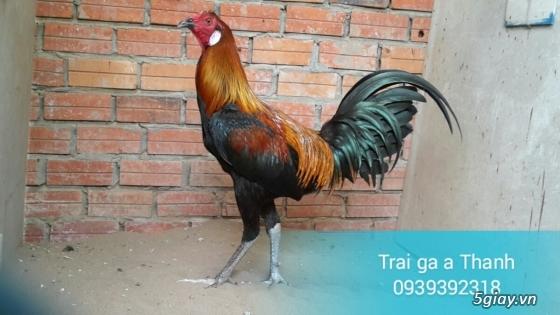 Trại gà A Thạnh - Bình Minh, Vĩnh Long (Gà Peru - Gà Mỹ - Gà Asil - Gà Lai các loại - 16