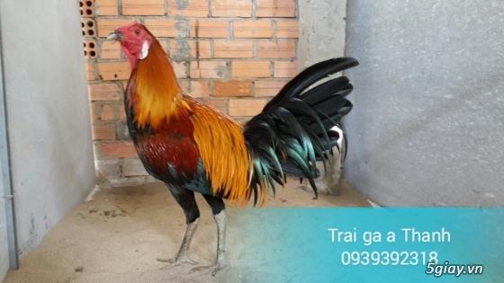 Trại gà A Thạnh - Bình Minh, Vĩnh Long (Gà Peru - Gà Mỹ - Gà Asil - Gà Lai các loại - 19
