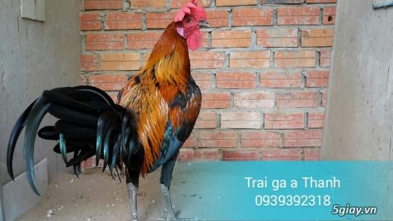 Trại gà A Thạnh - Bình Minh, Vĩnh Long (Gà Peru - Gà Mỹ - Gà Asil - Gà Lai các loại - 10