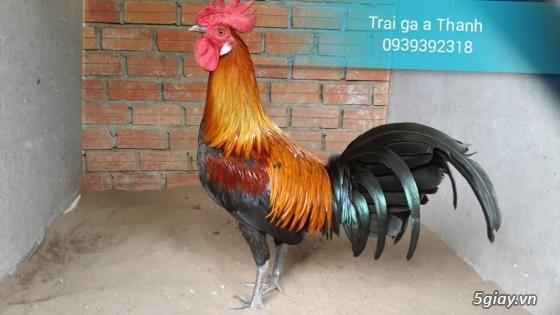 Trại gà A Thạnh - Bình Minh, Vĩnh Long (Gà Peru - Gà Mỹ - Gà Asil - Gà Lai các loại - 17