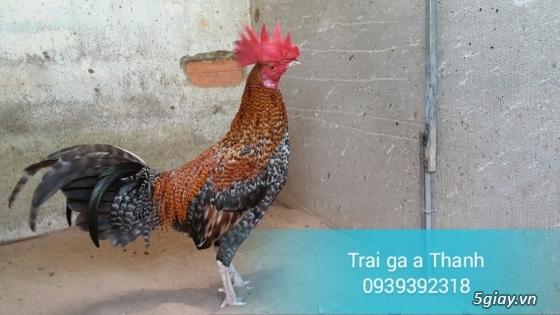 Trại gà A Thạnh - Bình Minh, Vĩnh Long (Gà Peru - Gà Mỹ - Gà Asil - Gà Lai các loại - 12