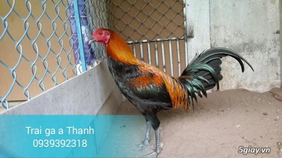 Trại gà A Thạnh - Bình Minh, Vĩnh Long (Gà Peru - Gà Mỹ - Gà Asil - Gà Lai các loại - 9