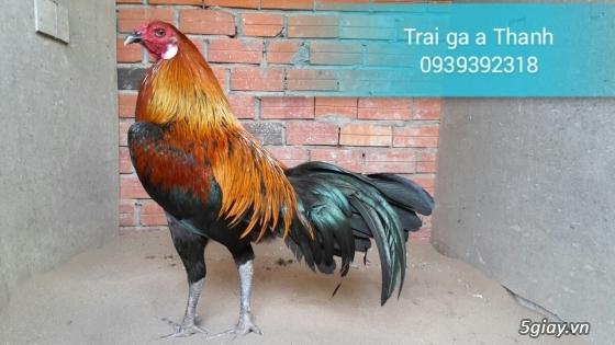 Trại gà A Thạnh - Bình Minh, Vĩnh Long (Gà Peru - Gà Mỹ - Gà Asil - Gà Lai các loại - 15
