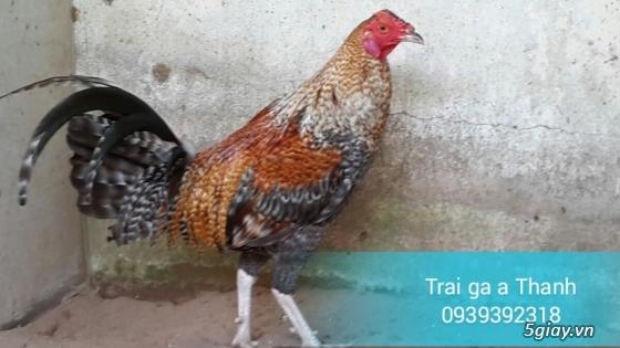 Trại gà A Thạnh - Bình Minh, Vĩnh Long (Gà Peru - Gà Mỹ - Gà Asil - Gà Lai các loại - 5