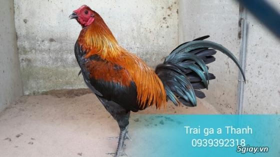 Trại gà A Thạnh - Bình Minh, Vĩnh Long (Gà Peru - Gà Mỹ - Gà Asil - Gà Lai các loại - 24