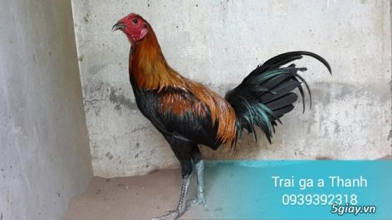 Trại gà A Thạnh - Bình Minh, Vĩnh Long (Gà Peru - Gà Mỹ - Gà Asil - Gà Lai các loại - 21