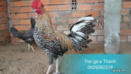 Trại gà A Thạnh - Bình Minh, Vĩnh Long (Gà Peru - Gà Mỹ - Gà Asil - Gà Lai các loại - 20