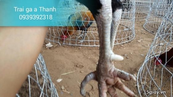 Trại gà A Thạnh - Bình Minh, Vĩnh Long (Gà Peru - Gà Mỹ - Gà Asil - Gà Lai các loại - 4