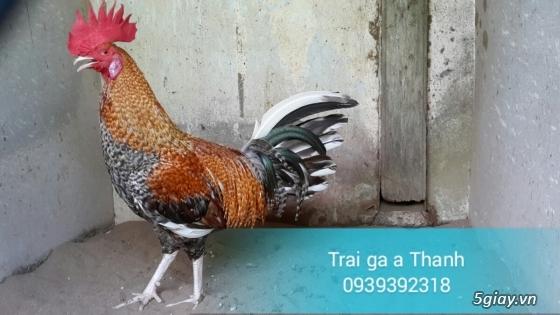 Trại gà A Thạnh - Bình Minh, Vĩnh Long (Gà Peru - Gà Mỹ - Gà Asil - Gà Lai các loại - 11