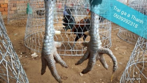 Trại gà A Thạnh - Bình Minh, Vĩnh Long (Gà Peru - Gà Mỹ - Gà Asil - Gà Lai các loại - 3