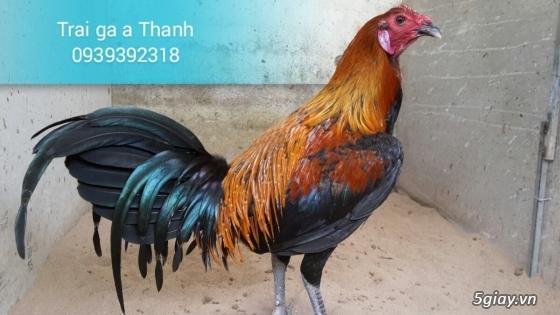 Trại gà A Thạnh - Bình Minh, Vĩnh Long (Gà Peru - Gà Mỹ - Gà Asil - Gà Lai các loại - 25