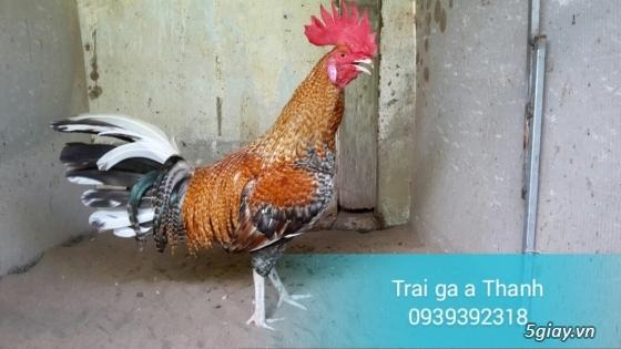 Trại gà A Thạnh - Bình Minh, Vĩnh Long (Gà Peru - Gà Mỹ - Gà Asil - Gà Lai các loại - 13