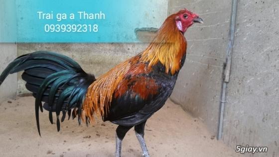 Trại gà A Thạnh - Bình Minh, Vĩnh Long (Gà Peru - Gà Mỹ - Gà Asil - Gà Lai các loại - 23
