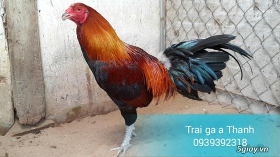 Trại gà A Thạnh - Bình Minh, Vĩnh Long (Gà Peru - Gà Mỹ - Gà Asil - Gà Lai các loại - 2