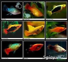 Bình thạnh-Cá cảnh Trung-nguyễn,đủ loại cá cảnh đẹp nhất hiện nay ! - 19