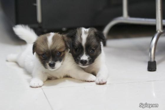 Chó Nhật lùn lông xù - 4