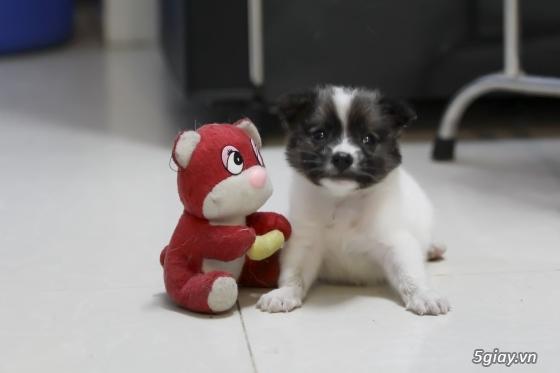Chó Nhật lùn lông xù - 3
