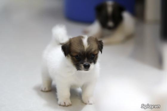 Chó Nhật lùn lông xù - 2