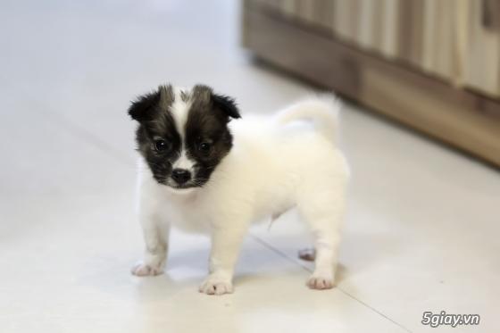 Chó Nhật lùn lông xù - 1