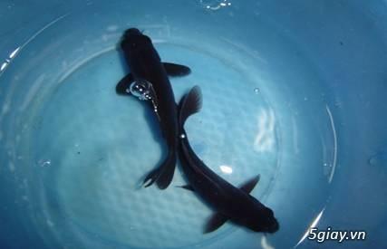 Bình thạnh-Cá cảnh Trung-nguyễn,đủ loại cá cảnh đẹp nhất hiện nay ! - 20