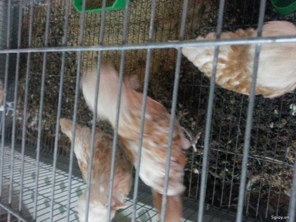 Trại gà kiễng trĩ 7 màu bình dương - 15