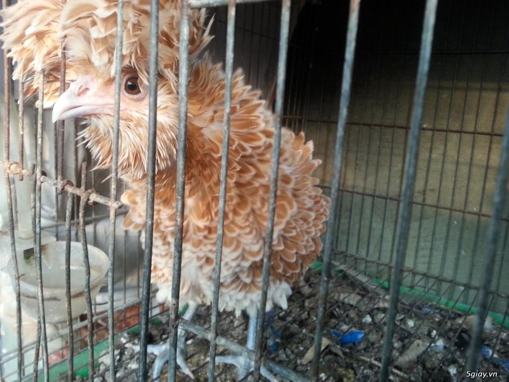 Trại gà kiễng trĩ 7 màu bình dương - 3