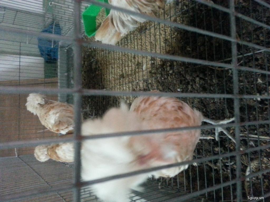 Trại gà kiễng trĩ 7 màu bình dương - 14
