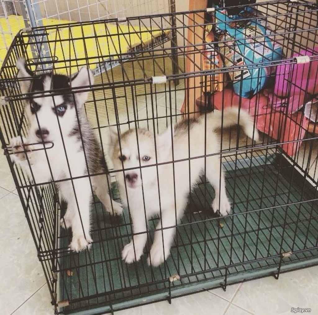 2 bé husky đen tráng và màu xám nâu tìm chủ mới. - 3