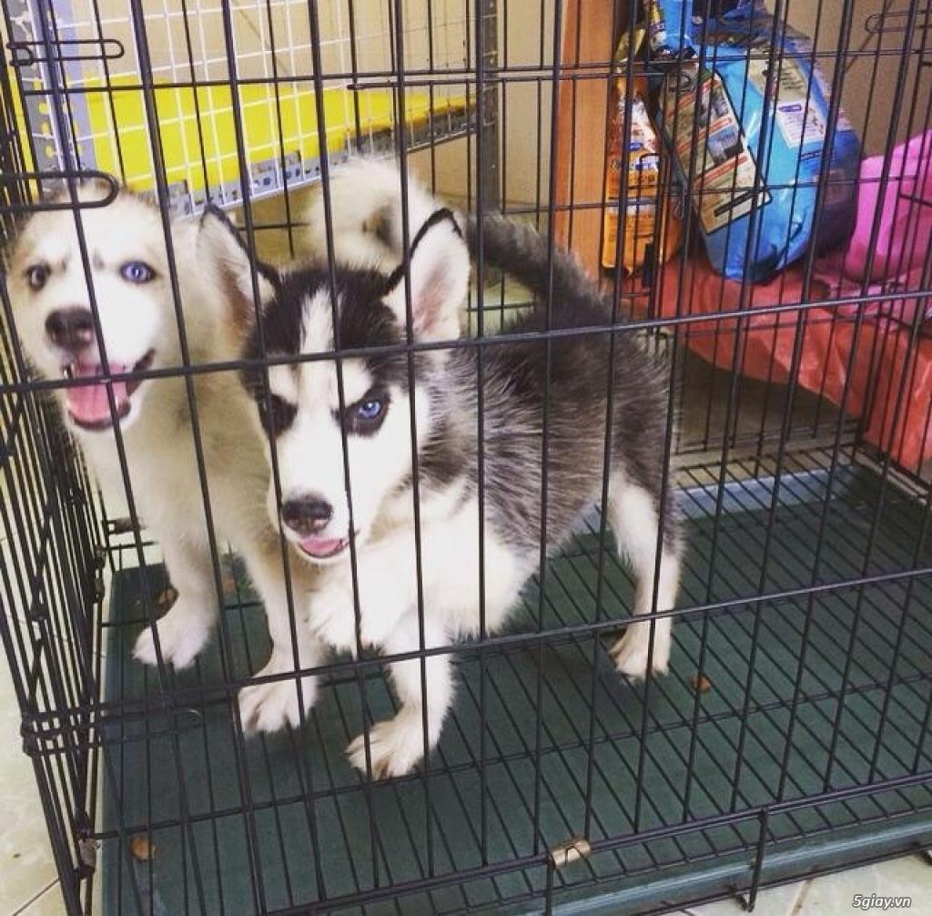 2 bé husky đen tráng và màu xám nâu tìm chủ mới. - 1