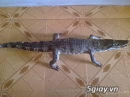 cá sấu nhồi bông da thật nguyên con - 1