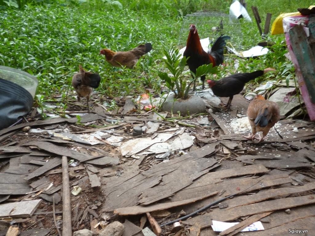 gà tre và nòi trống, mái, gà con.....