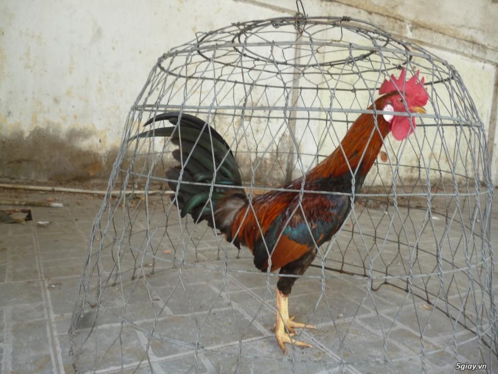 gà tre và nòi trống, mái, gà con..... - 3