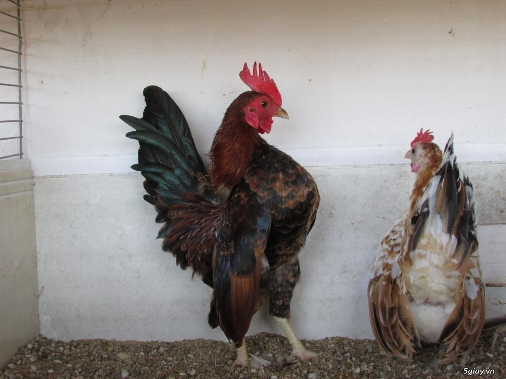Trại gà kiểng gồm các giống gà ngoại nhập: Serama,Rosecomo,Ba Lan Sư Tử,Phoenix,Sikie,Vảy cá,gà Thái - 23