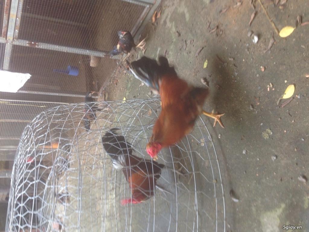 Trại gà QUANG TRUNG chuyên GÀ TRE, NÒI đi kam c1 và những em gà c2 khu phố, hàng chuẩn. - 4