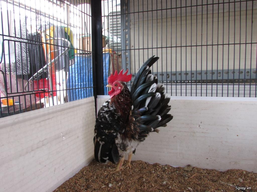 Trại gà kiểng gồm các giống: Serama,Rocomc,Phoenix,Balan,Thái Chuối Tuyết (Thủ Đức) - 18
