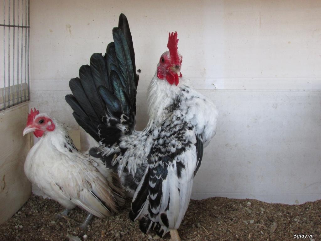 Trại gà kiểng gồm các giống gà ngoại nhập: Serama,Rosecomo,Ba Lan Sư Tử,Phoenix,Sikie,Vảy cá,gà Thái - 24