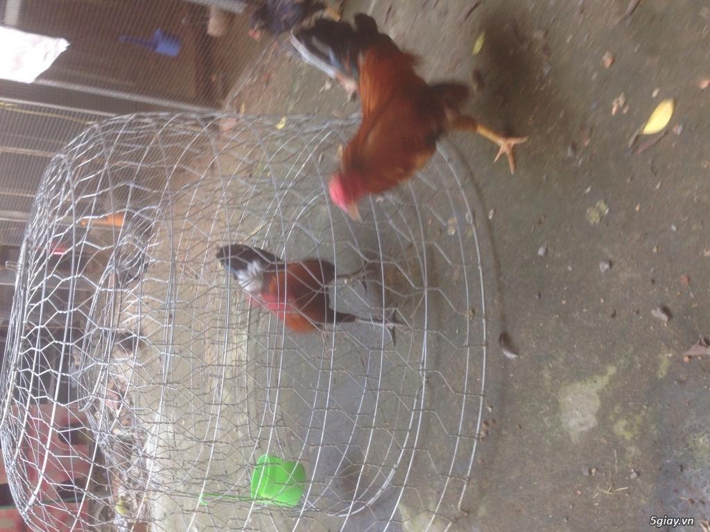 Trại gà QUANG TRUNG chuyên GÀ TRE, NÒI đi kam c1 và những em gà c2 khu phố, hàng chuẩn. - 3