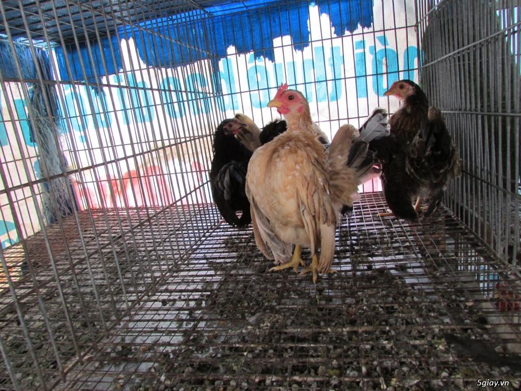 Trại gà kiểng gồm các giống: Serama,Rocomc,Phoenix,Balan,Thái Chuối Tuyết (Thủ Đức) - 25