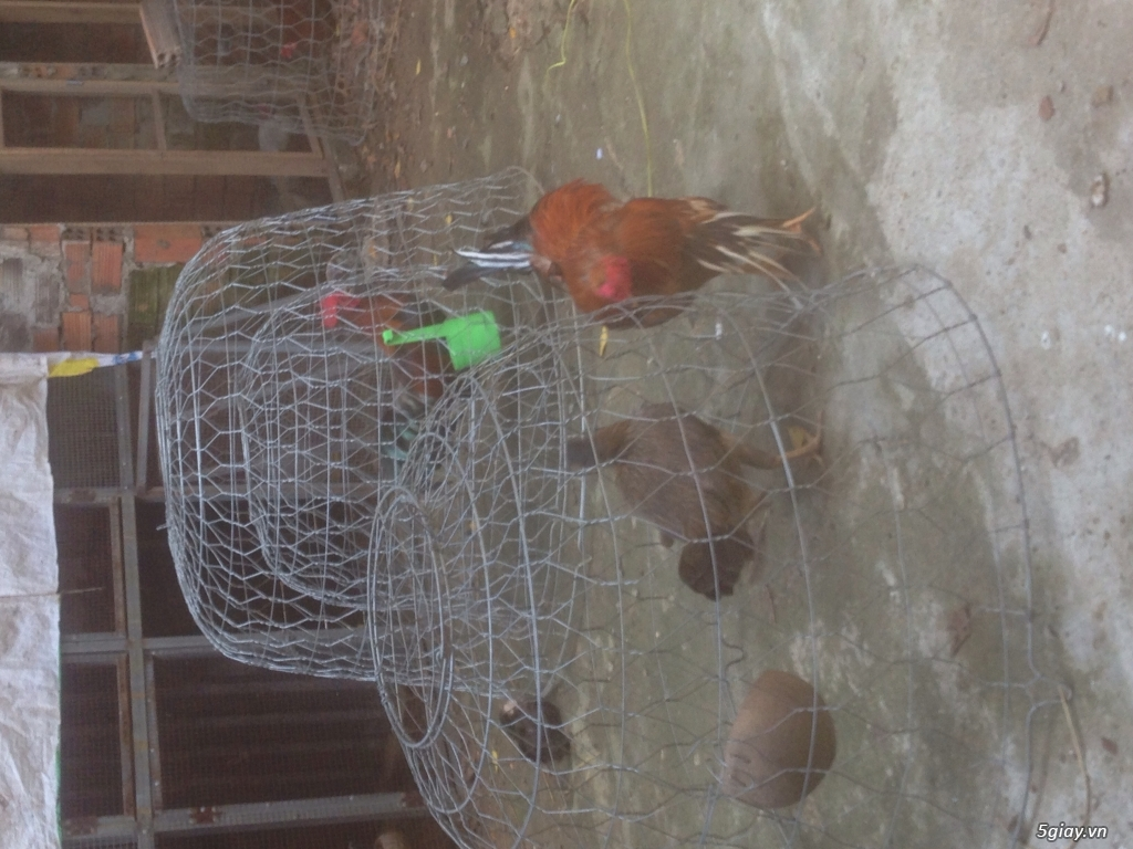 Trại gà QUANG TRUNG chuyên GÀ TRE, NÒI đi kam c1 và những em gà c2 khu phố, hàng chuẩn. - 2